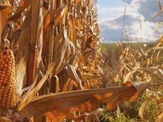 Как сварить кукурузную кашу на воде